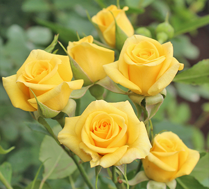spray-roses