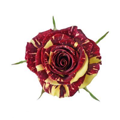Abracadabra bicolor roses