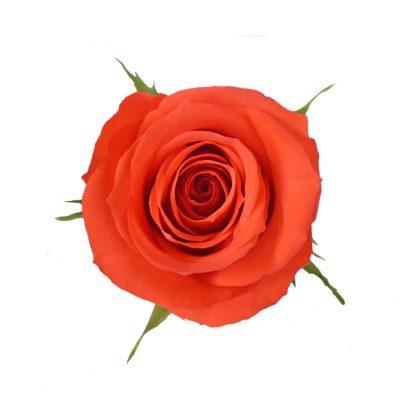 Africana dark orange roses