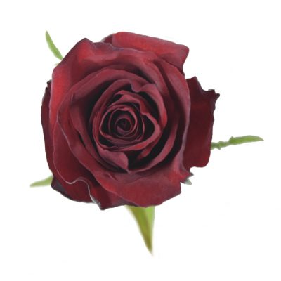 Africana red roses
