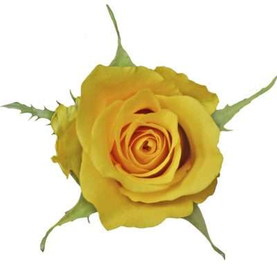 Africana yellow roses
