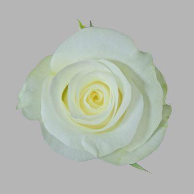 Akito white roses