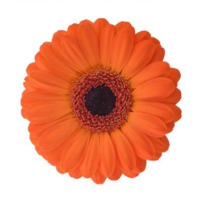 Allure mini gerbera summer flowers