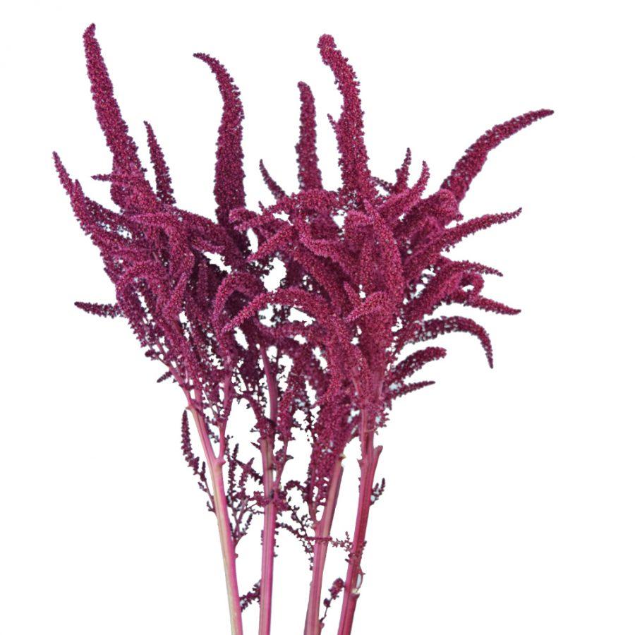 Amaranthus upright summer flowers close up