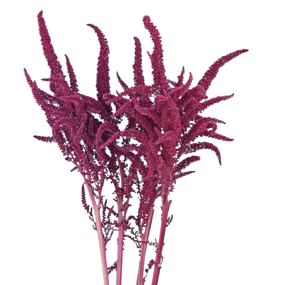 Amaranthus upright summer flowers close up