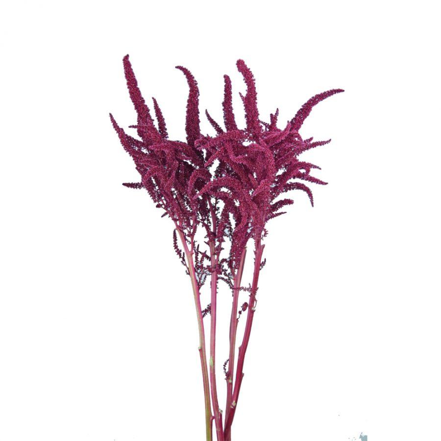 Amaranthus upright summer flowers side