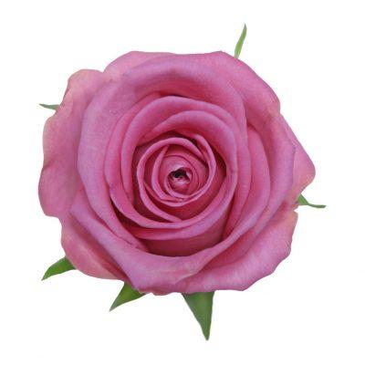 Aqua hot pink roses