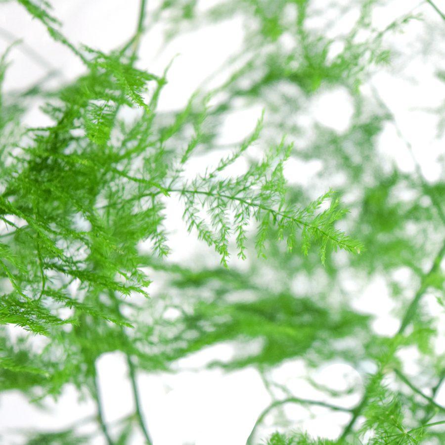 Asparagus plumosus greens close up