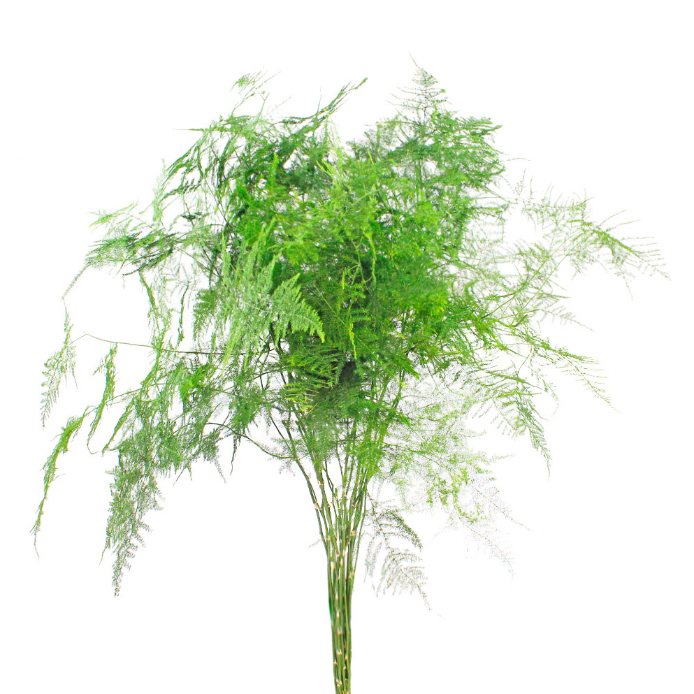 Asparagus plumosus greens