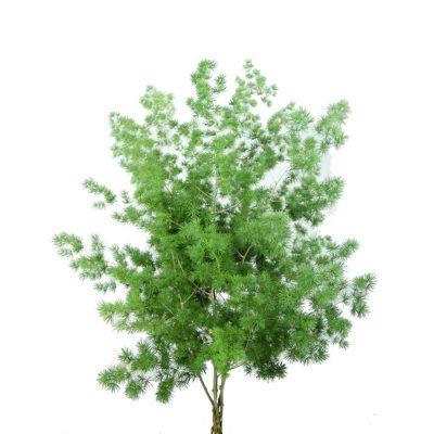Asparagus retrofractus greens