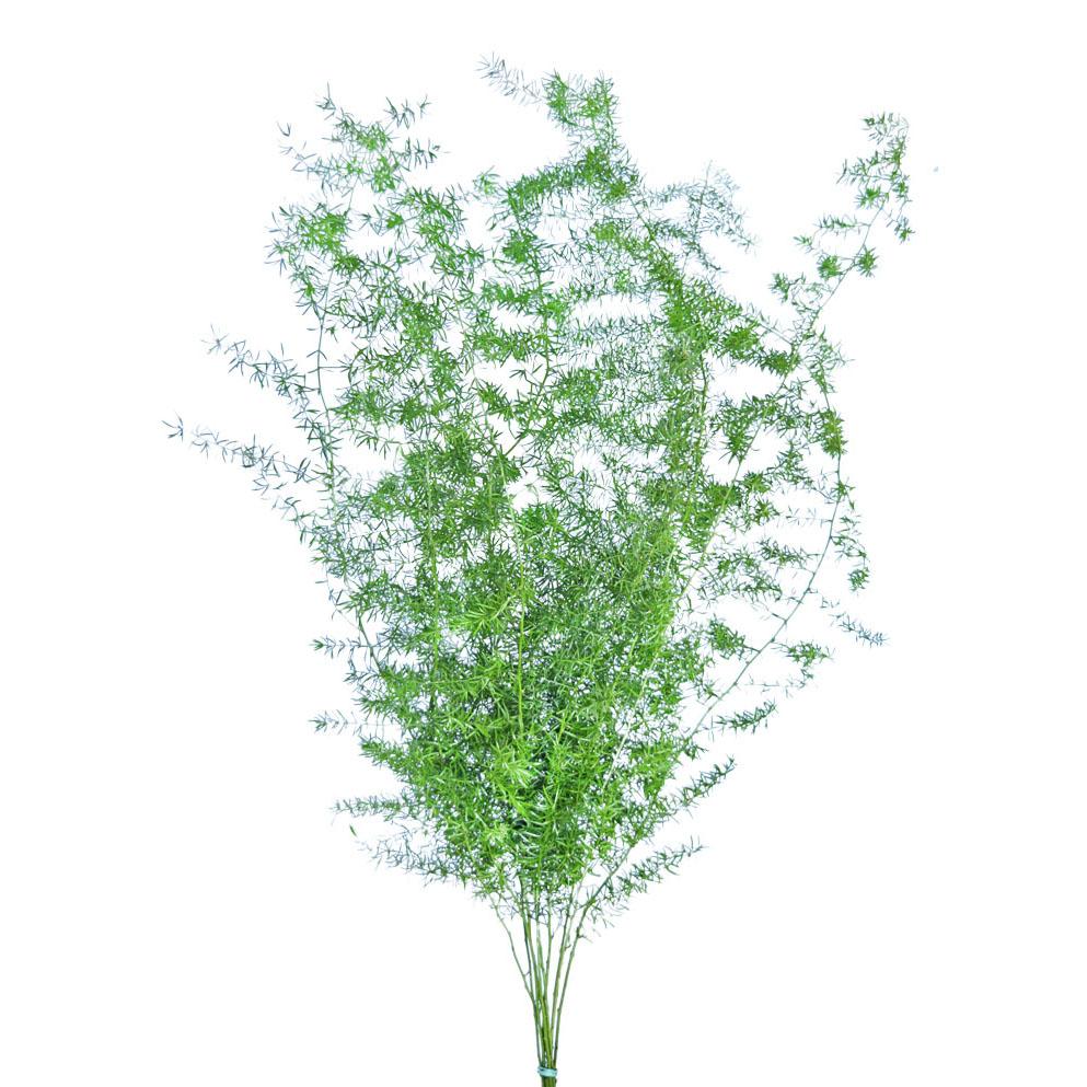 Asparagus sprengerii greens