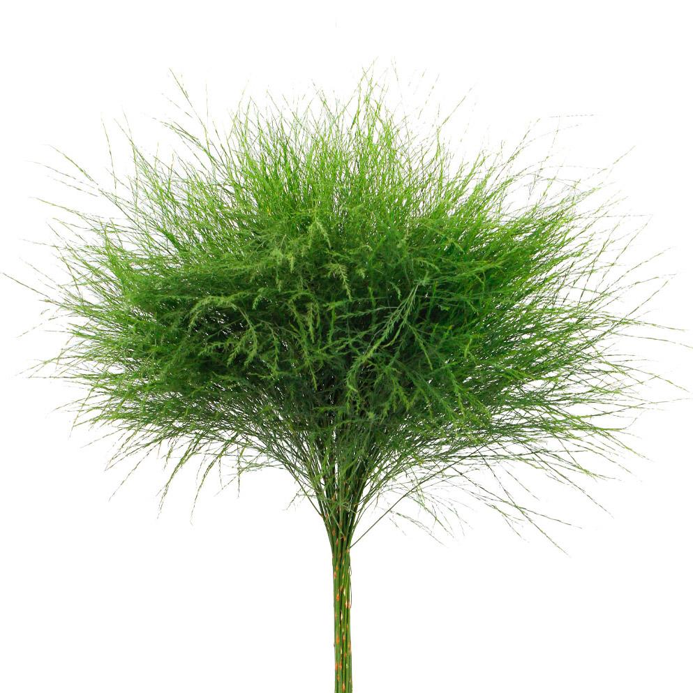 Asparagus virgatus green