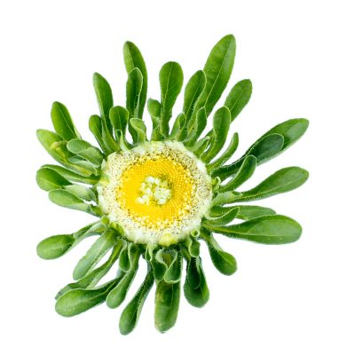 Aster hulk summer flowers