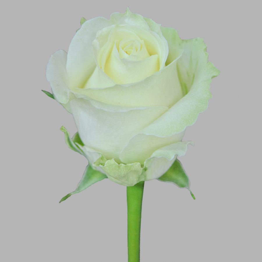 Avalanche white roses front