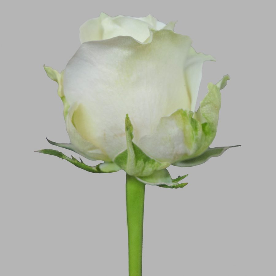 Avalanche white roses side