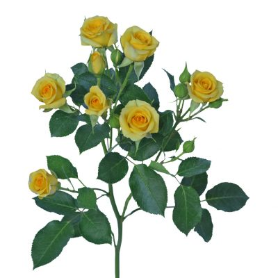 Babe yellow spray rose