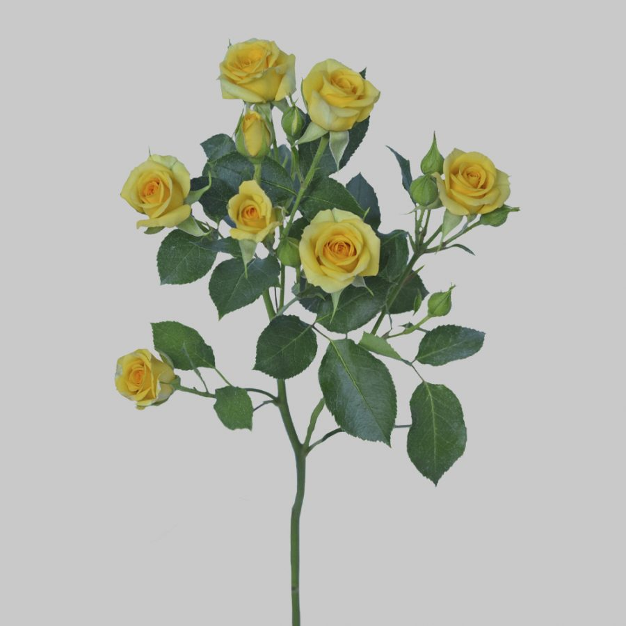 Babe yellow spray roses stem
