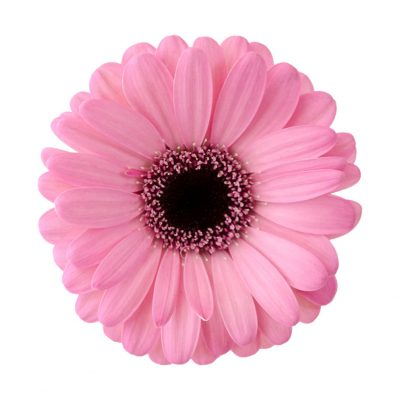 Bali mini gerbera summer flowers