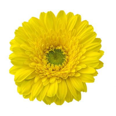 Banana mini gerbera summer flowers
