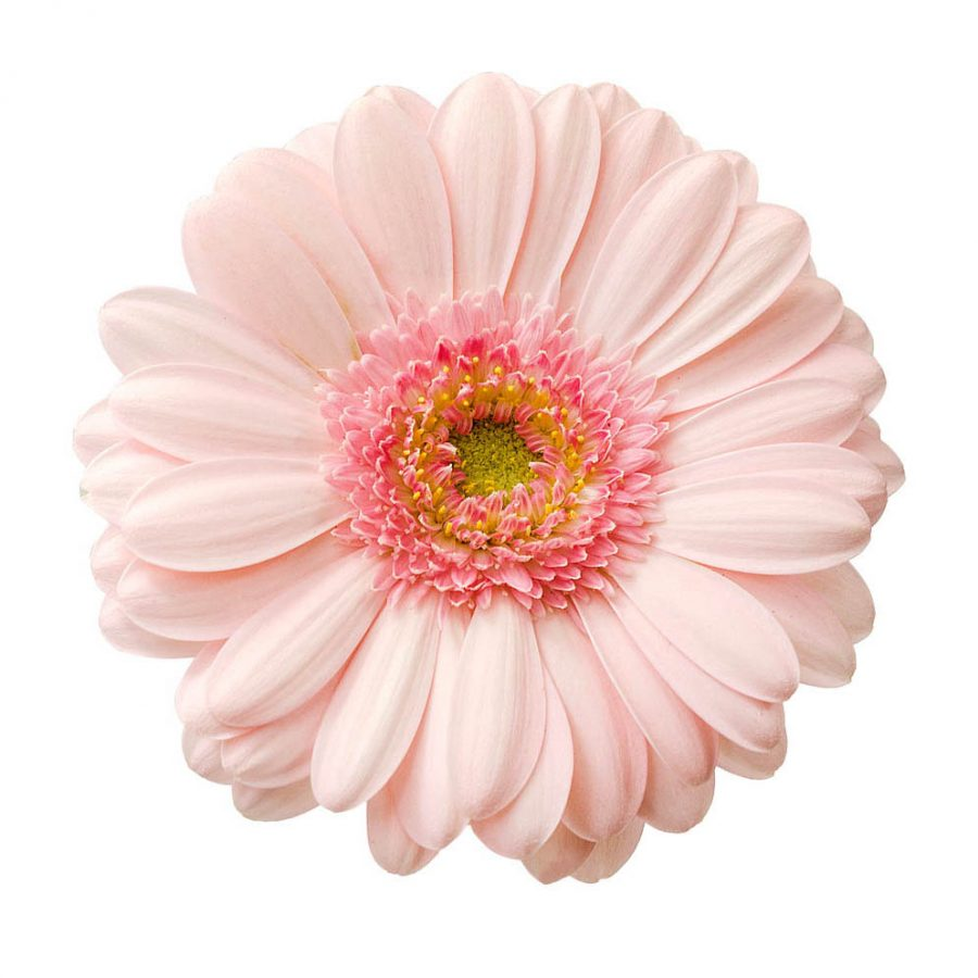 Bellita mini gerbera summer flowers