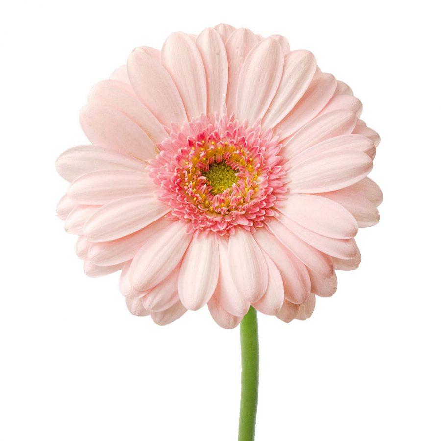 Bellita mini gerbera summer flowers stem