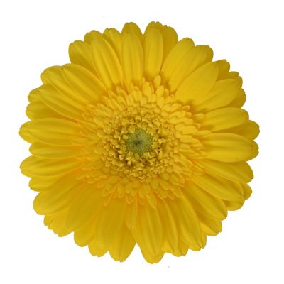Bikini mini gerbera summer flowers