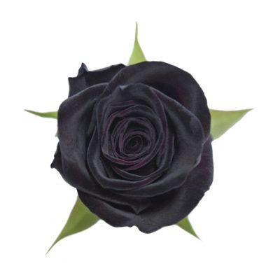 Black baccara red roses