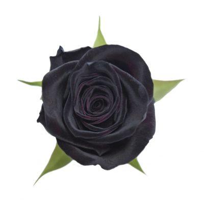 Black baccara red roses