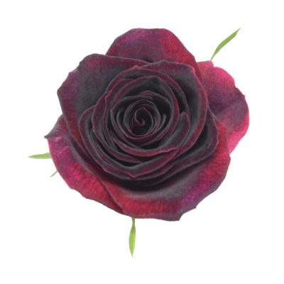 Black beauty red roses