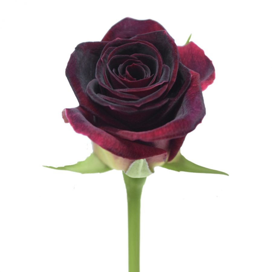 Black beauty red roses front