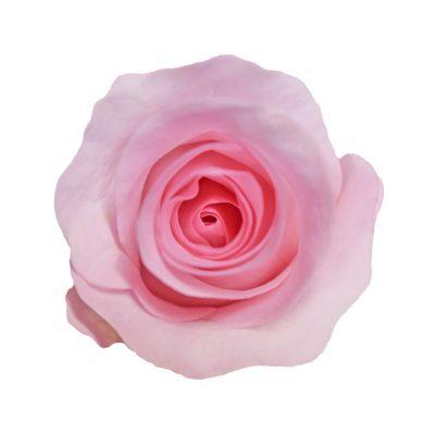 Blushing akito pink roses