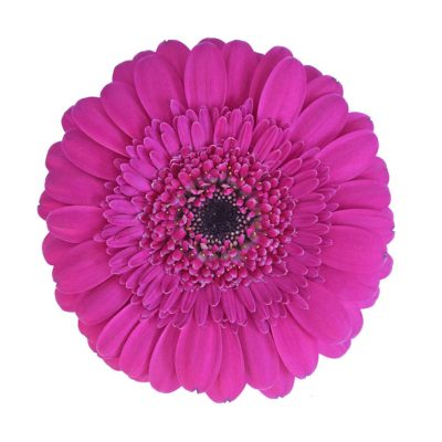 Boost mini gerbera summer flowers