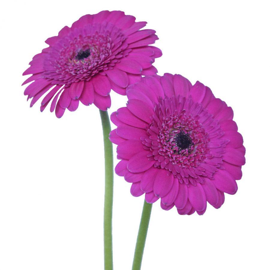 Boost mini gerbera summer flowers side