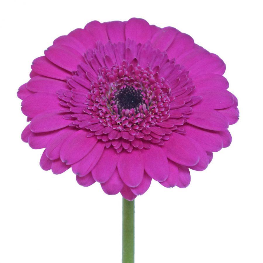 Boost mini gerbera summer flowers stem