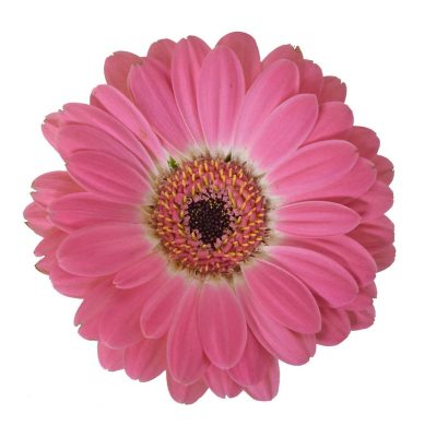 Chanelle mini gerbera summer flowers