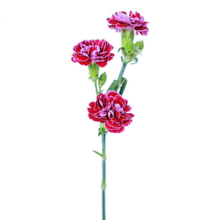 Cherry neon dianthini summer flowers stem