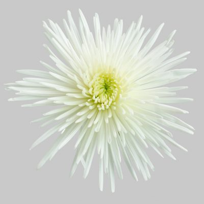 Chrysanthemums white summer flowers