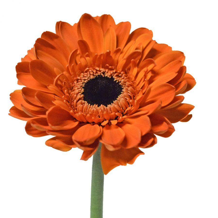 Cinema mini gerbera summer flowers stem