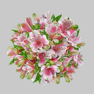 Circus alstroemeria summer flowers