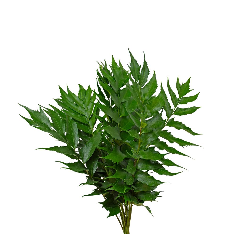 Cirtonio greens