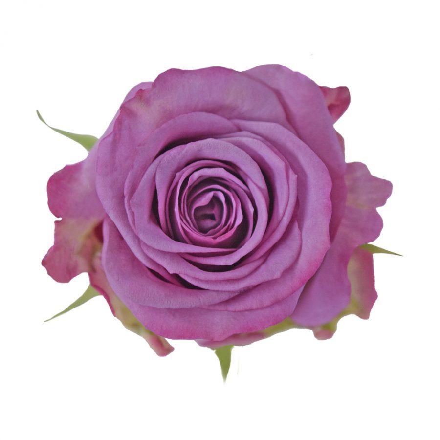 Cool water lavender roses