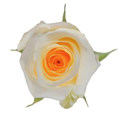 Creme de la creme peach roses