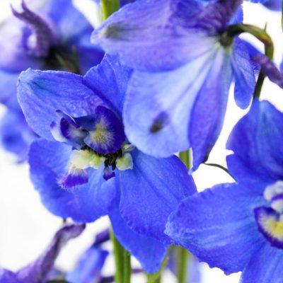 Dark blue volkerfrieden delphinium summer flowers