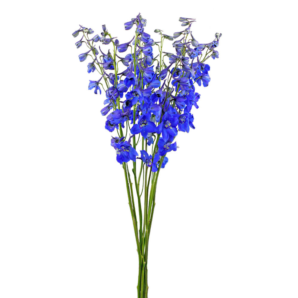 Dark blue volkerfrieden delphinium summer flowers side