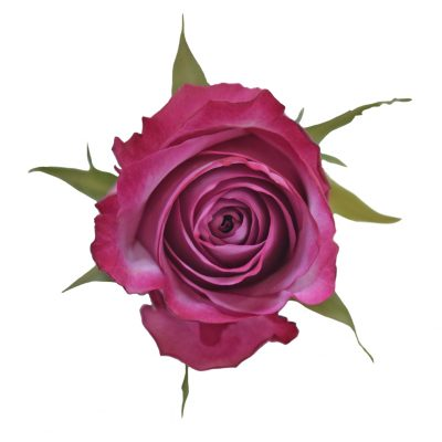 Deep purple lavender roses