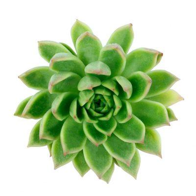 Derenbergii succulents botanicals