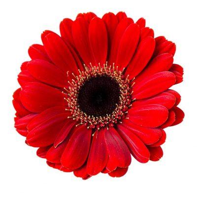 Diori mini gerbera summer flowers