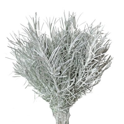 Dusty miller fino gris greys side