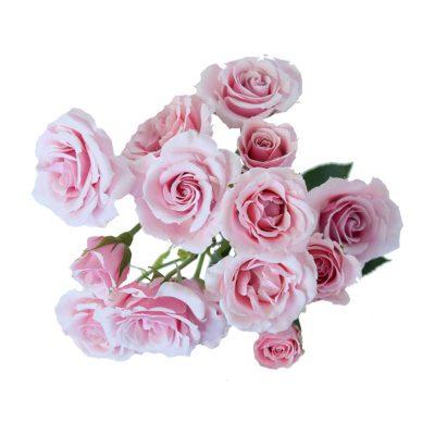 Eileen spray roses