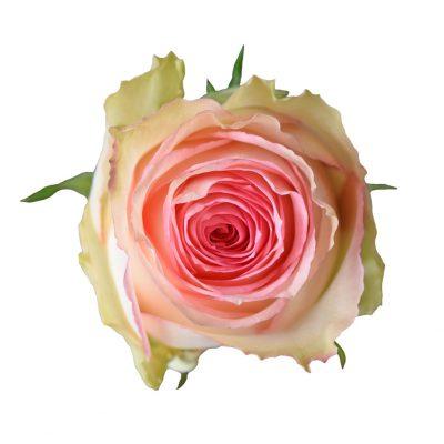 Esperance bicolor roses